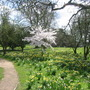 Daffodils and Cherry tree