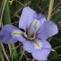 Iris_unguicularis_22.2
