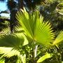 Pritchardia beccariana - Loulou Palm, Kilauea Pritchardia (Pritchardia beccariana - Loulou Palm, Kilauea Pritchardia)