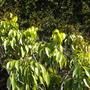 Litchi chinensis - Lychee, Litche Tree  (Litchi chinensis - Lychee, Litche Tree)