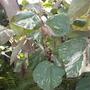 Hibiscus tilliaceus 'tricolor' or 'variegata' -  Variegated Mahoe (Hibiscus tilliaceus 'tricolor' or 'variegata' -  Variegated Mahoe)