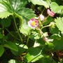 pink flowered strawberry plant