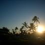 Cocos nucifera - Coconut Palms in Aeia, O'ahu, Hawai'i (Cocos nucifera - Coconut Palm)