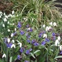 Blue and white (Pulmonaria)
