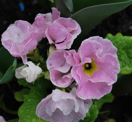 Primula pink.... (Primula vulgaris (Native primrose))
