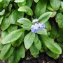 First Forget-me-not