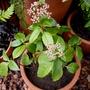 Viburnum Tinus 'Eve Price' (Viburnum tinus (Laurustinus))