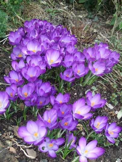 What a difference a day makes! (Crocus tommasinianus (Crocus))