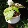 begonia grown from seed