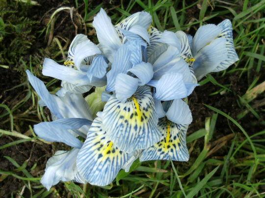 Iris  dwarf ' Katharine Hodgkin '