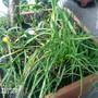 Crocus chrysanthus (Crocus)