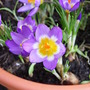 Purple_and_yellow_crocus