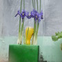 miniature irises 2