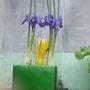 miniature irises 2