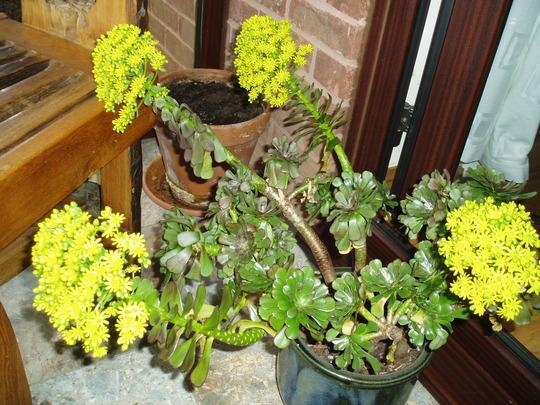 Aeonium Arborescens 'Atropurpurea' (Aeonium)