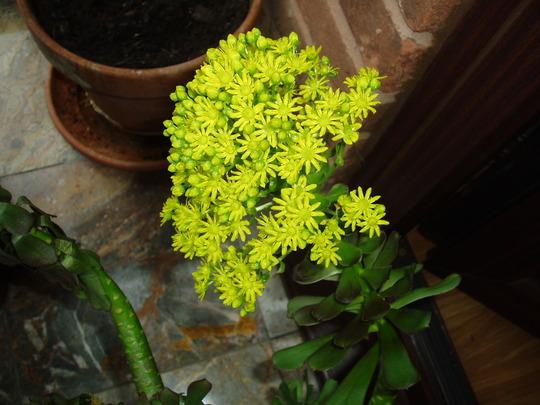 Closer view of aeonium flower (Aeonium)