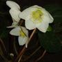 Hellebore Niger (christmas rose) (hellebore)