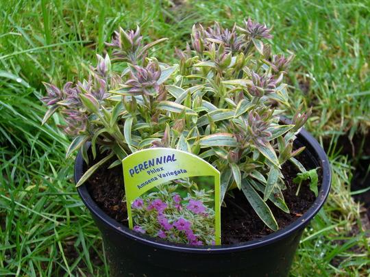 Phlox amoena variegata (Phlox amoena variegata)