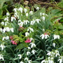 Snowdrops and Pulmonaria rubra (Galanthus nivalis (Common snowdrop))