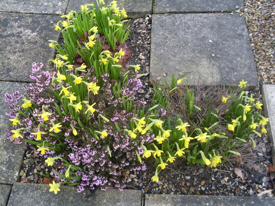 Mini Daffs and Heather