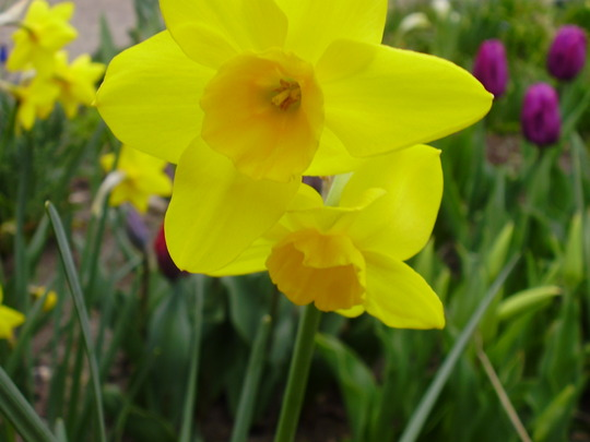 daffodil stratosphere (Narcissus triandrus (Angels Tears))