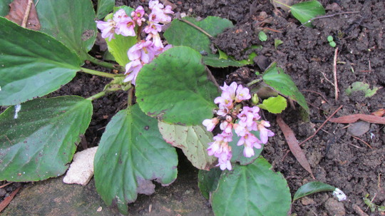Elephants Ears. (Bergenia cordifolia (Elephant's ears))