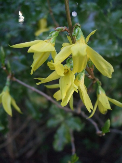 Forsythia (Forsythia x intermedia variegata)