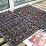 onion sets started off in allotment greenhouse