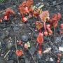 rhubarb starting to grow in allotment
