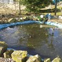 pond in allotment, seems to have every frog in sunderland in there
