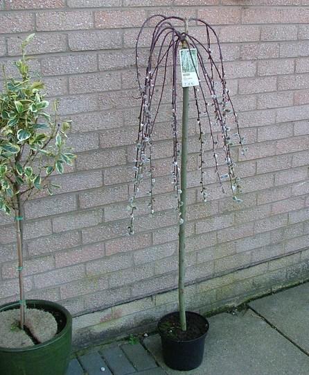 "Salix Caprea ""Pendula"" (pussy willow) (salix caprea pendula)"