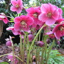 First Hellebore in full flower 2011 by Dorjac
