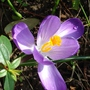 One lonely Crocus opening in the sunshine