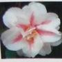 Camellia japonica (Camellia)