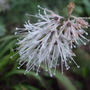 Ypsilandra thibetica (Ypsilandra thibetica)
