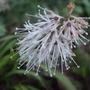 Ypsilandra thibetica (Ypsilandra thibetica)