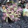 Euphorbia_ascot_rainbow_