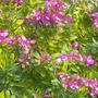 Polygala myrtifolia 'Grandiflora' - Sweet Pea Shrub (Polygala myrtifolia 'Grandiflora' - Sweet Pea Shrub)