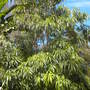Rauvolfia caffra - Quinine Tree (Rauvolfia caffra - Quinine Tree)