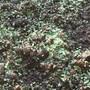 aeonium seedlings