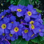 A splash of blue.....Primula. (Primula vulgaris (Native primrose))