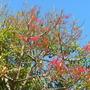 Brachychiton acerifolius - Illawarra Flame Tree (Brachychiton acerifolius - Illawarra Flame Tree)