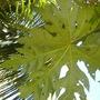 Trevesia palmata - Snowflake Tree (Trevesia palmata - Snowflake Tree)
