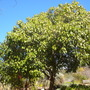 Aleurites moluccana - Kukui Nut Tree, Candlenut Tree (Aleurites moluccana - Kukui Nut Tree, Candlenut Tree)