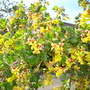 Yellow Flowering Currant