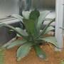 Agave ferox (agave ferox)