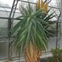 Aloe africana (aloe africana)