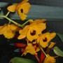 Dendrobium fimbriatum (var. oculatum) (Dendrobium fimbriatum)