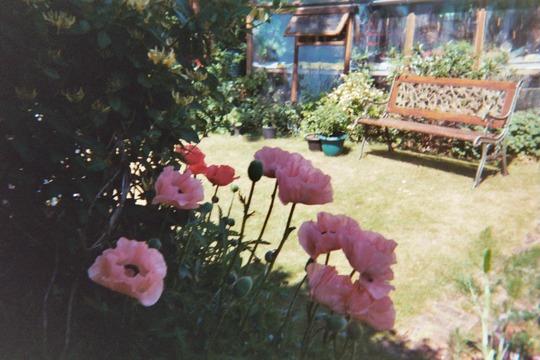 oriental poppies 2010