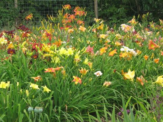 View of the daylily field (Hemerocallis)